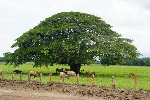 L 39 ecosistema boschivo e l 39 espansione forestale biopills for Alberi sempreverdi da ombra