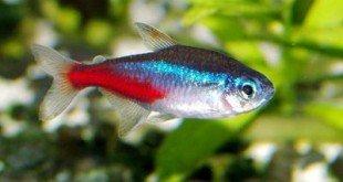 pesce neon