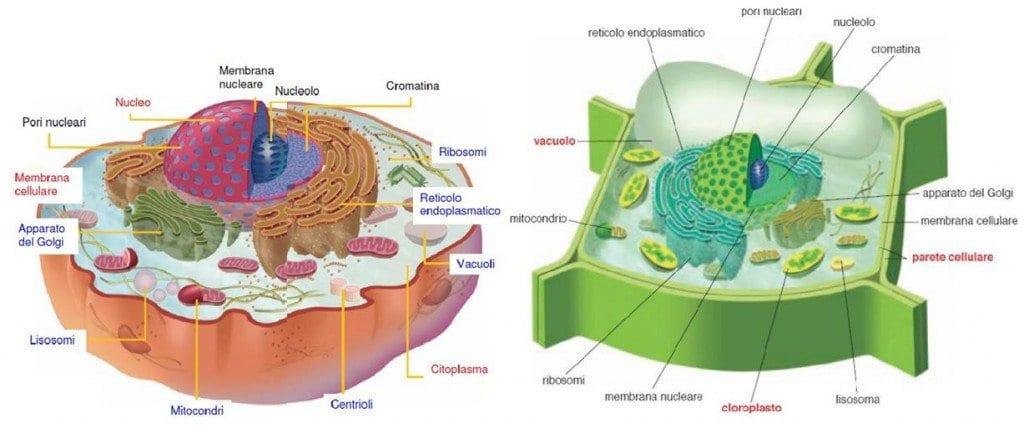 differenza tra cellula animale e vegetale