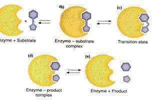 meccanismi catalisi enzimatica