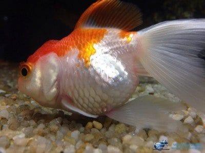 Malattie dei pesci d 39 acqua dolce tropicali for Pesci acqua dolce commestibili