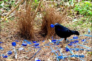 uccello giardiniere