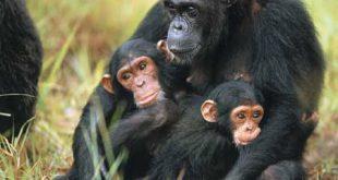 Scimpanzé guarito dalla tetraplegia