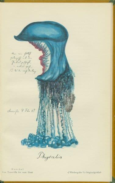 Tavola raffigurante Physalia di Haeckel
