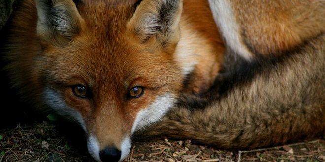 La volpe rossa, maestra di sopravvivenza