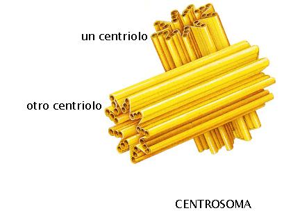 centrosoma-e-centrioli