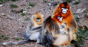 parto assistito nelle scimmie