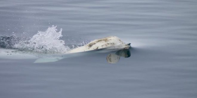 balene beluga