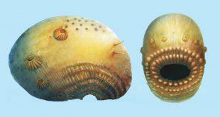 Saccorhytus coronarious