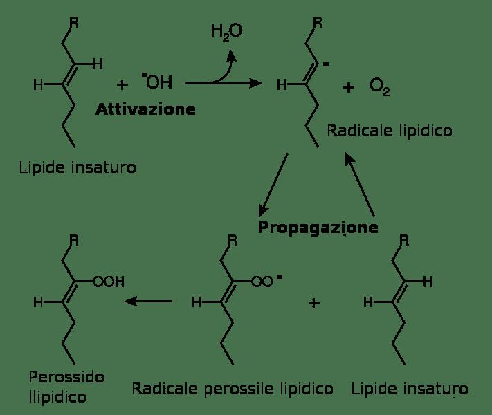 perossidazione lipidica