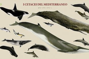 cetacei del mediterraneo