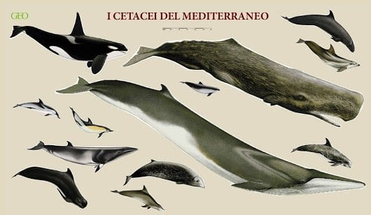 I cetacei nel mediterraneo