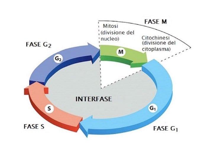 Immagine 1: un ciclo cellulare e le sue fasi