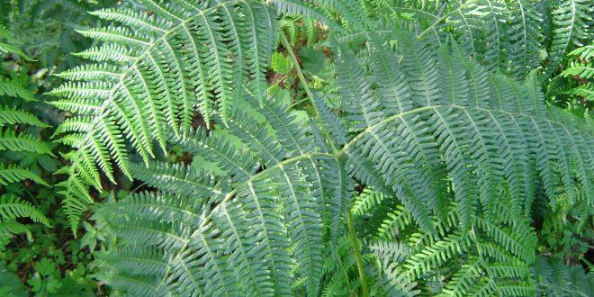Le Felci: quando le piante vascolari conquistarono le terre emerse