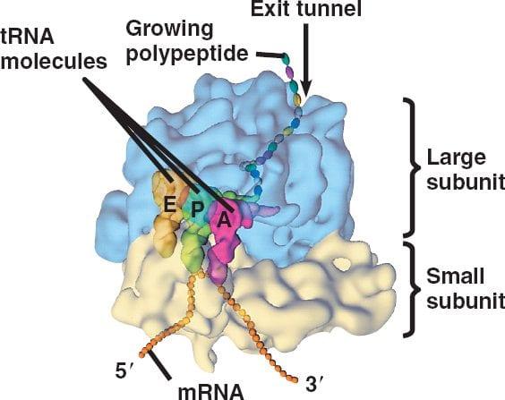 il Ribosoma è formato da due sub-unità