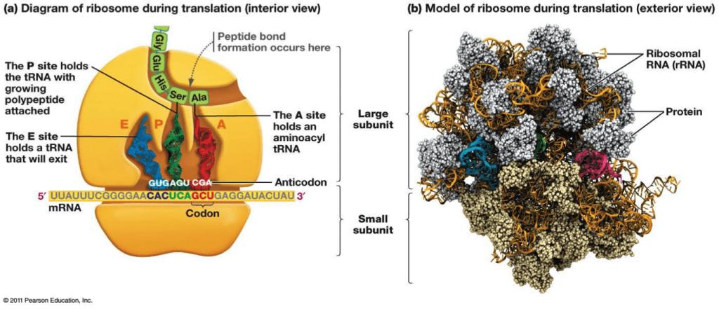 """un mRNA viene tradotto da più ribosomi """"in fila"""""""