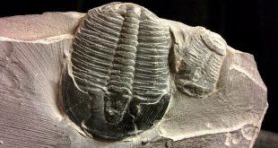 i Trilobiti