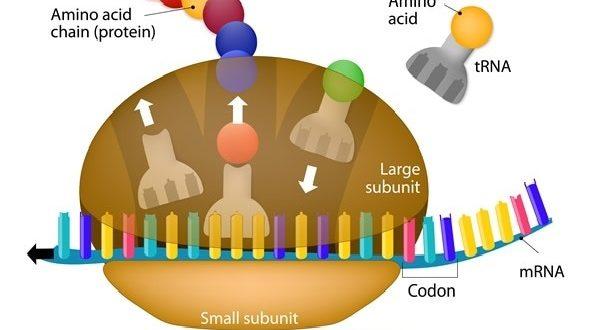 La traduzione e i ribosomi