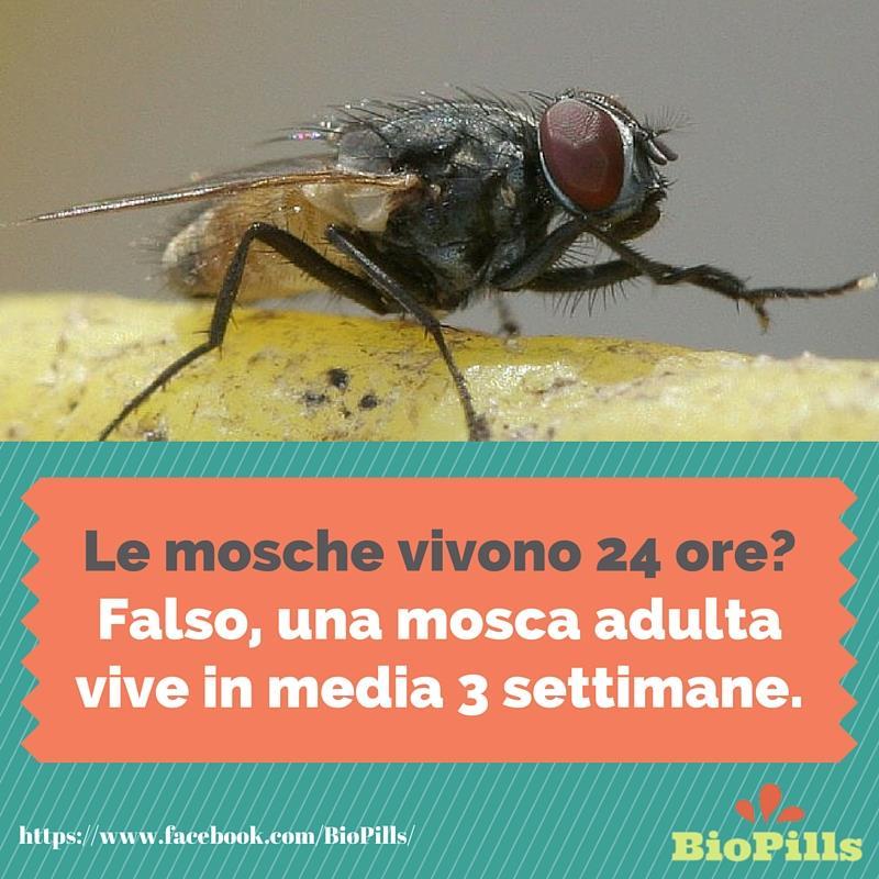 le mosche non vivono solo 24 ore