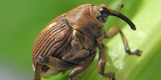 Esemplare di Curculionide - insetti
