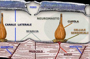 la linea laterale dei pesci, il lato sensoriale