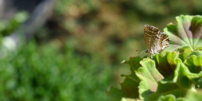 Cacyreus marshalli: la farfalla che distrugge i gerani