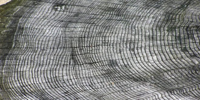 Dendrocronologia: studiare gli anelli degli alberi
