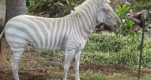 Albinismo, la golden zebra