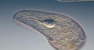 protozoi