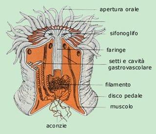 struttura antozoi