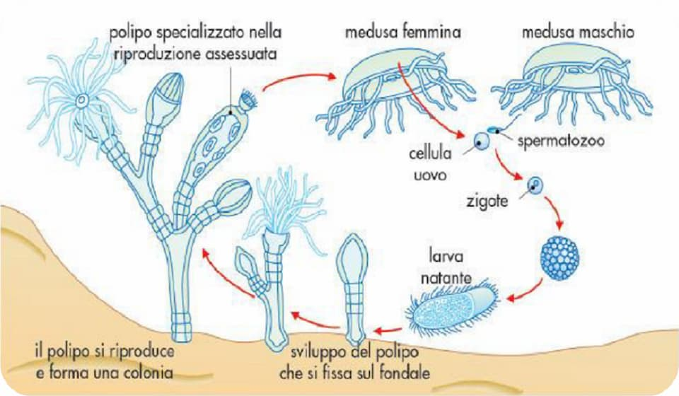 riproduzione meduse