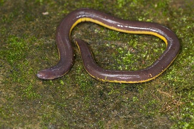 Ichthyophis2
