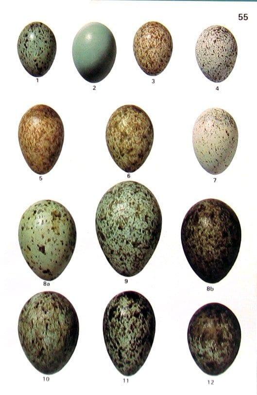 uovo amniotico