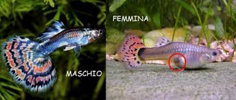 dimorfismo sessuale guppy