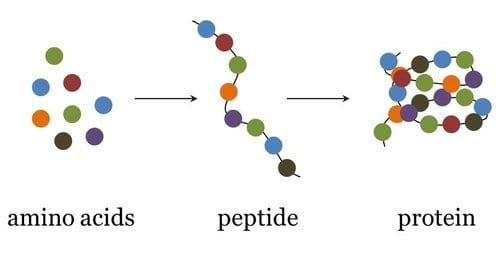 il legame peptidico