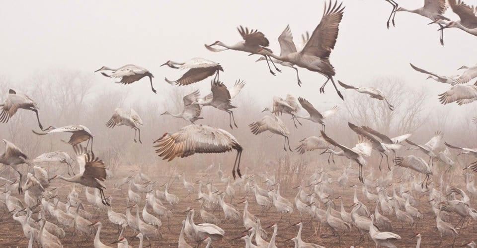 gene clock e migrazione uccelli
