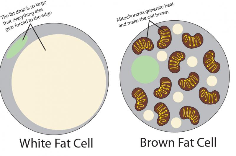 Differenza tra cellule di grasso bianco e grasso marrone come dimagrire