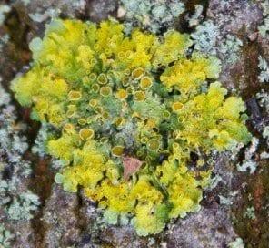 Xhantoria parietina (L.), un lichene molto diffuso in Italia. Le strutture circolari al centro del corpo del lichene, detto tallo, sono strutture riproduttive (fotografia di Filippo Santini)