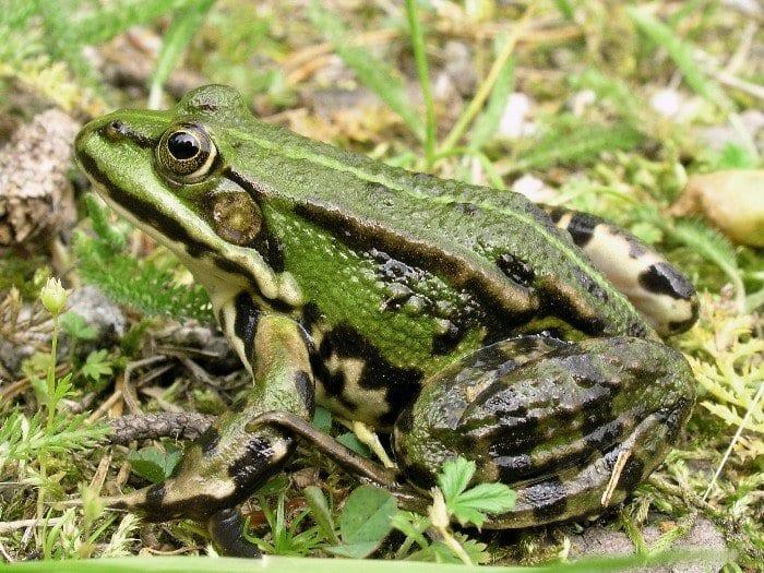 rana comune