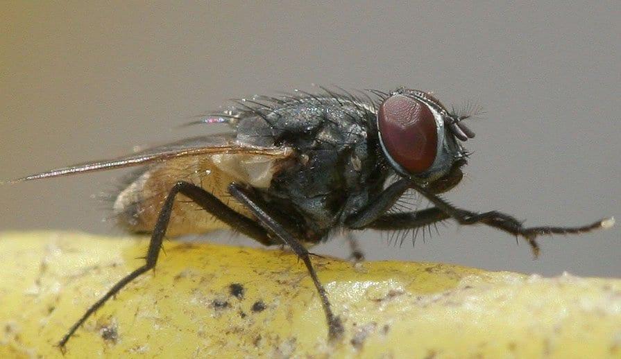 quanto tempo vivono le mosche