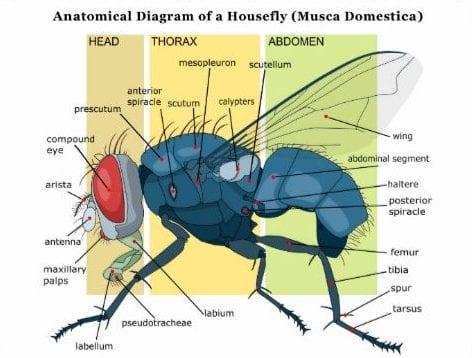 quanto vive una mosca