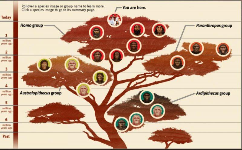 Il cespuglio dell' evoluzione umana (da Smithsonian's Human Origins Program)