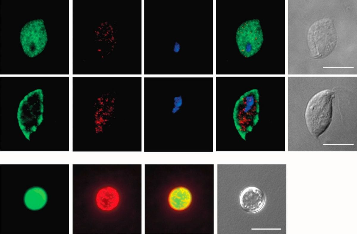 eukariote senza mitocondri