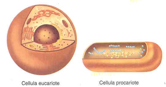 La cellula eucariote e procariote