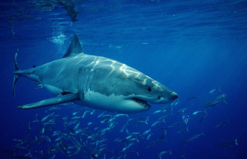Great White Shark, Carcharodon carcharias, Pacific ocean, Guadalupe, Mexico