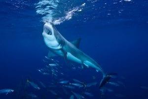 Carcharodon carcharias, squalo bianco