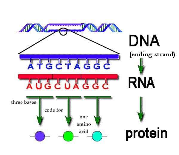 Sintesi-proteica