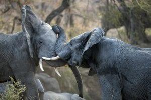 Scontro tra elefanti