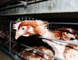 Pollo in gabbia. In questo ambiente gli istinti vengono repressi - Nevrosi animale