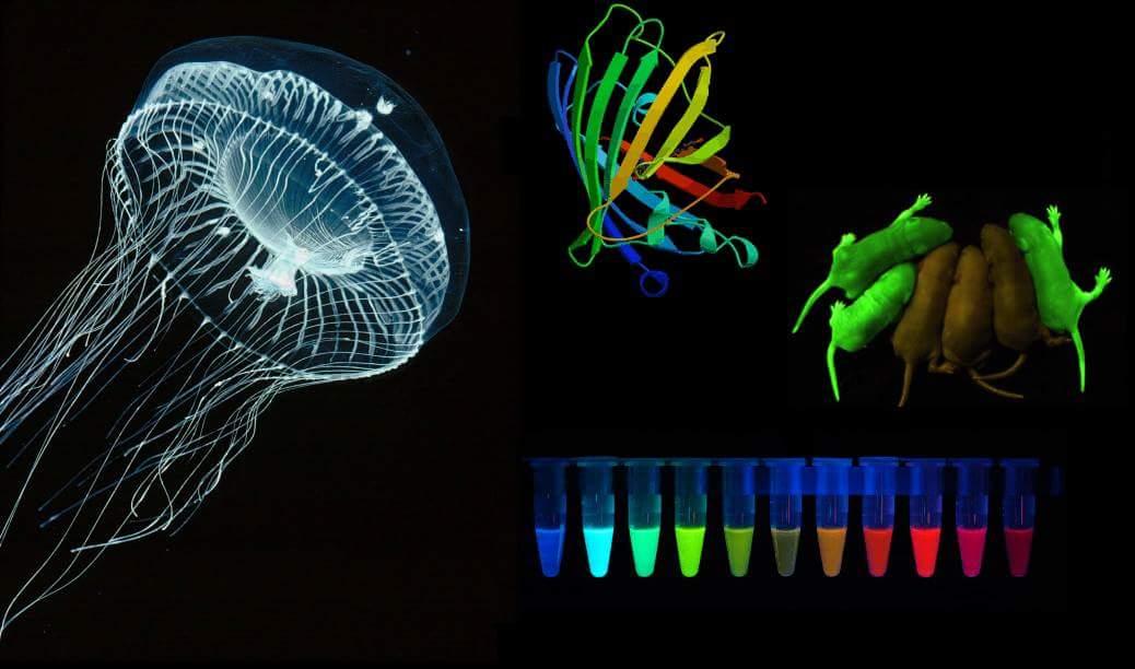 gfp, proteina verde fluorescente